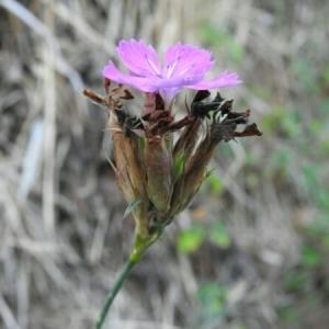Photographie n°2102103 du taxon Dianthus balbisii Ser. [1824]
