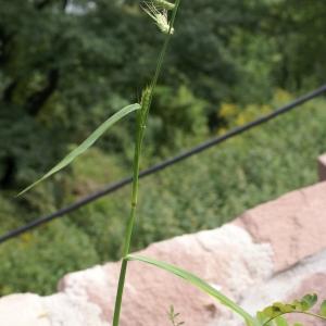 Photographie n°2102158 du taxon Echinochloa crus-galli (L.) P.Beauv.