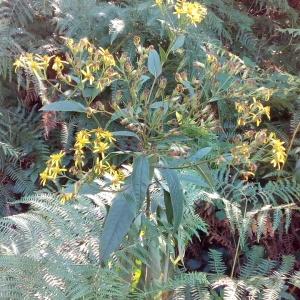 Senecio bayonnensis Boiss. (Séneçon de Bayonne)