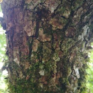 Photographie n°2102228 du taxon Quercus robur L. [1753]