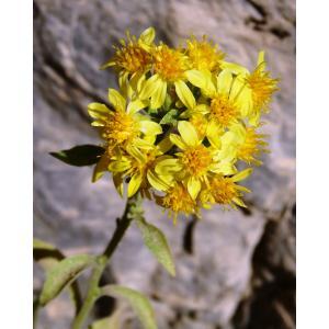 Tephroseris helenitis subsp. macrochaeta (Willk.) B.Nord. (Séneçon à grosses soies)