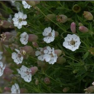 Photographie n°2102508 du taxon Silene uniflora subsp. uniflora