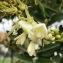 Heinz Gass - Sophora japonica L.