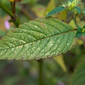Photographie n°2102878 du taxon Galeopsis tetrahit L.
