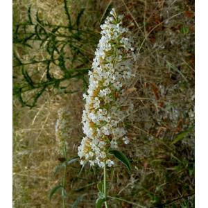 Buddleja albiflora Hemsl. [1889] (Buddléia à fleurs blanches)
