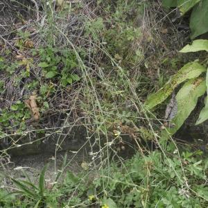 Photographie n°2103415 du taxon Chondrilla juncea L. [1753]