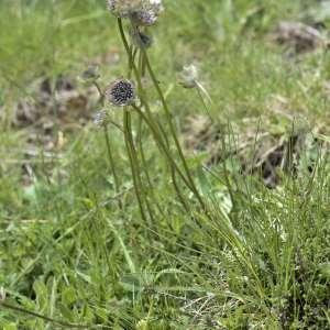 Photographie n°2103824 du taxon Scabiosa cinerea Lapeyr. ex Lam. [1792]