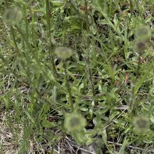 Photographie n°2103825 du taxon Scabiosa cinerea Lapeyr. ex Lam. [1792]