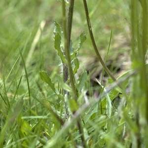 Photographie n°2103828 du taxon Scabiosa cinerea Lapeyr. ex Lam. [1792]