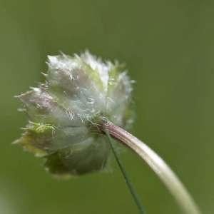 Photographie n°2103834 du taxon Scabiosa cinerea Lapeyr. ex Lam. [1792]