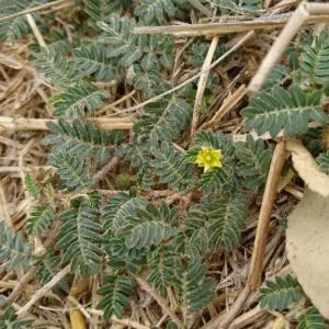 Photographie n°2103883 du taxon Tribulus terrestris L. [1753]