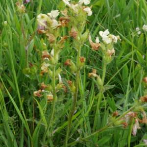 Photographie n°2103937 du taxon Pedicularis tuberosa L.