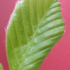Photographie n°2104930 du taxon Fagus sylvatica L.