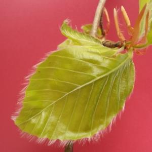 Photographie n°2104931 du taxon Fagus sylvatica L.