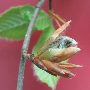 Photographie n°2104932 du taxon Fagus sylvatica L.