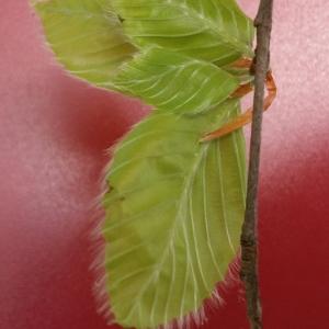 Photographie n°2104933 du taxon Fagus sylvatica L.