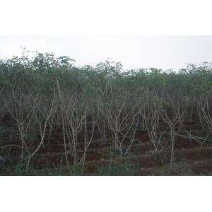 Manihot esculenta Crantz (Cassava)