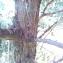 Yves Bas - Juniperus communis L. [1753]