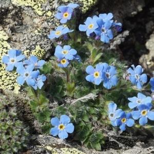 Eritrichium nanum (L.) Schrad. ex Gaudin subsp. nanum (Éritriche nain)