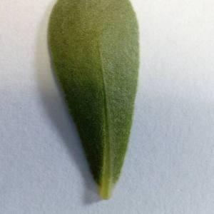 - Portulaca oleracea L.