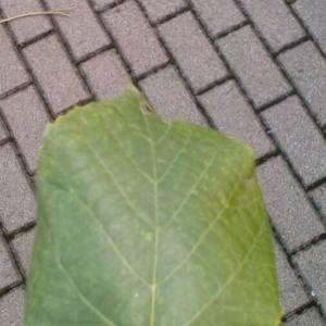 Photographie n°2105839 du taxon Tilia platyphyllos Scop. [1771]