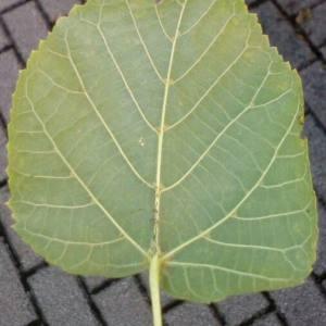 Photographie n°2105840 du taxon Tilia platyphyllos Scop. [1771]