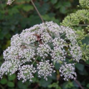 Photographie n°2106023 du taxon Angelica sylvestris L. [1753]