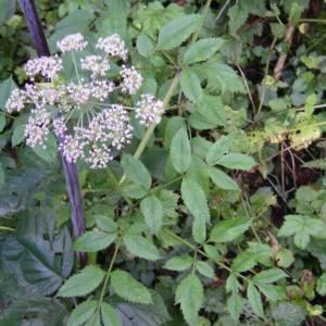 Photographie n°2106024 du taxon Angelica sylvestris L. [1753]
