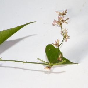 Photographie n°2106176 du taxon Smilax aspera L. [1753]