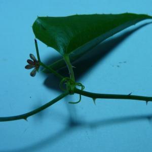 Photographie n°2106177 du taxon Smilax aspera L. [1753]
