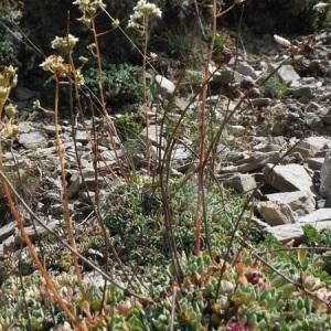 Photographie n°2106261 du taxon Saxifraga paniculata Mill.