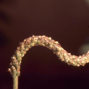 - Plantago coronopus L.