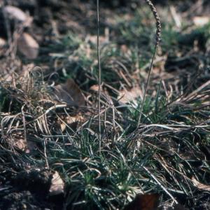 - Plantago holosteum Scop.