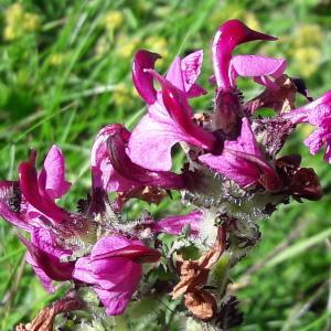 Photographie n°2106535 du taxon Pedicularis cenisia Gaudin