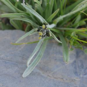 Photographie n°2106546 du taxon Gnaphalium hoppeanum W.D.J.Koch