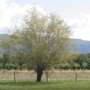 Salix alba var. vitellina (L.) Stokes (Saule amarine)