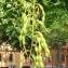 Cman Mario - Sophora japonica L.