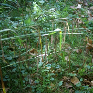Photographie n°2106983 du taxon Carex pendula Huds.