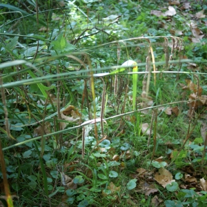 Photographie n°2106984 du taxon Carex pendula Huds.