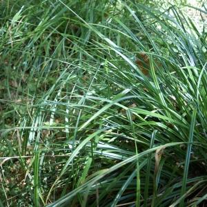 Photographie n°2106992 du taxon Carex pendula Huds.