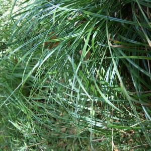 Photographie n°2106993 du taxon Carex pendula Huds.