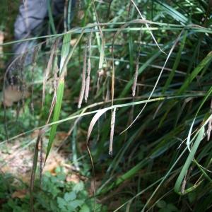 Photographie n°2106994 du taxon Carex pendula Huds.