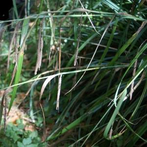 Photographie n°2106995 du taxon Carex pendula Huds.