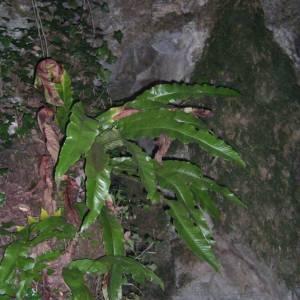 Photographie n°2107144 du taxon Asplenium scolopendrium L. [1753]