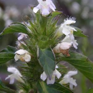 Photographie n°2107149 du taxon Galeopsis tetrahit L.