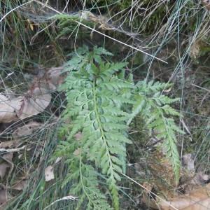 Photographie n°2107161 du taxon Asplenium adiantum-nigrum L.