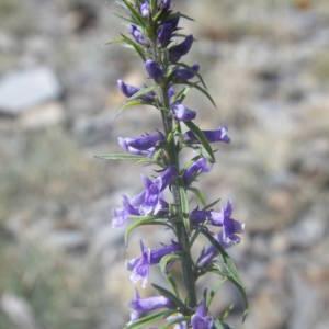 Photographie n°2107168 du taxon Anarrhinum bellidifolium (L.) Willd.