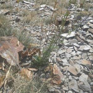 Photographie n°2107169 du taxon Anarrhinum bellidifolium (L.) Willd.