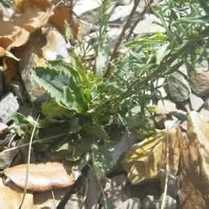 Photographie n°2107170 du taxon Anarrhinum bellidifolium (L.) Willd.