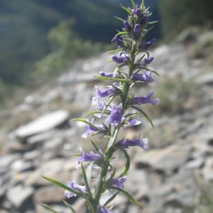 Photographie n°2107171 du taxon Anarrhinum bellidifolium (L.) Willd.